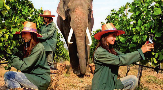 Thailand's Grape Adventure – The Thais That Vined